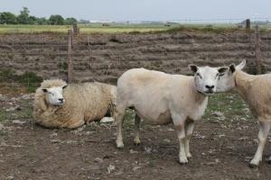 Einheimische Schafe...