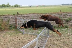 ... und ihre Hirtenhunde